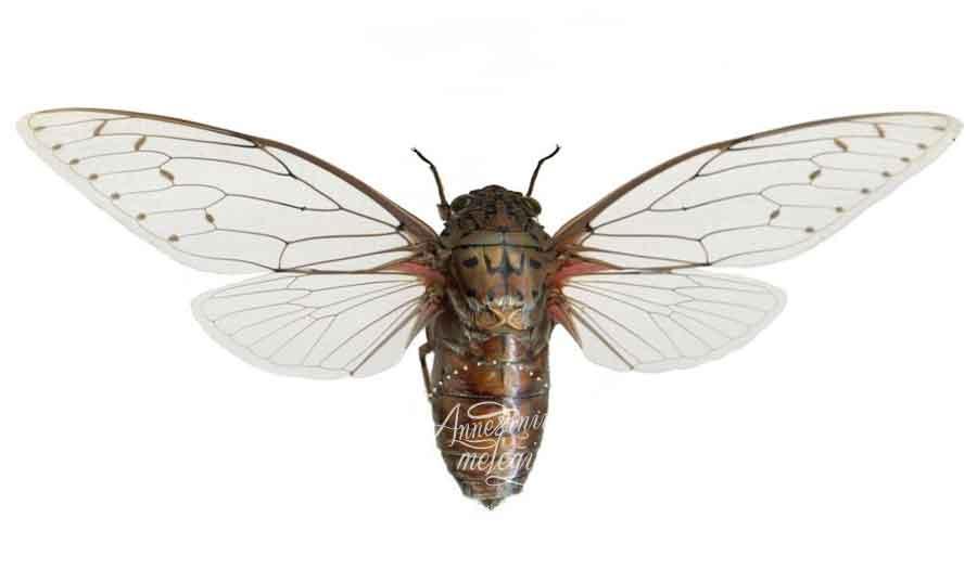 Ağustos Böceğinin gerçek hayatını bilenler, La Fontaine'nin Ağustos Böceği ve Karınca hikayesinde ağustos böceğinin haksızlığa uğradığını da bilirler.