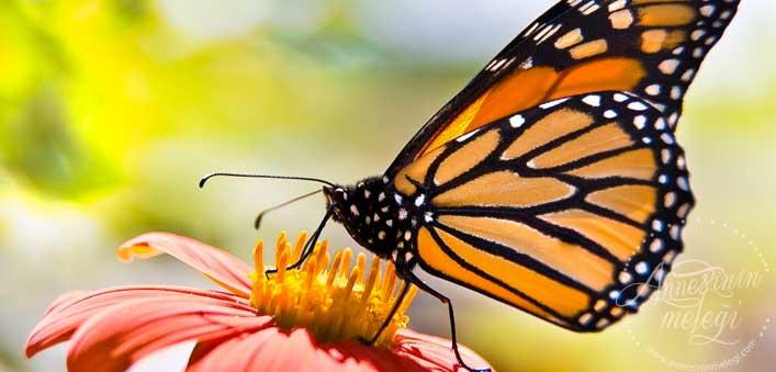 Kelebek Hortumuyla Çiçekten Bal Özü İçerken :) kelebek ömrü, kelebek etkisi, kelebekler kaç gün yaşar, kelebeğin ömrü kaç gündür, kelebekler 1 günde ölür mü,Kelebekler ne kadar yaşar? Kelebekler sadece 1 gün mü yaşar? Kelebeklerin yaşam süresi ne kadardır? Tırtıl nasıl kelebek olur?