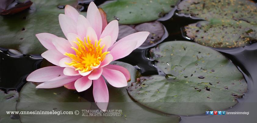 Eğlenceli gerçekler: Lotus çiçekleri kir tutmaz