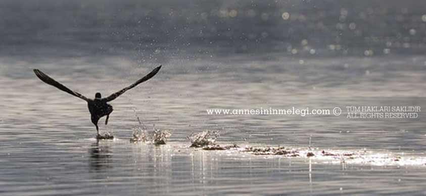 Sakar Meke su yüzeyinden koşarak uçar *Sakar Meke Bir göçmen su kuşudur.
