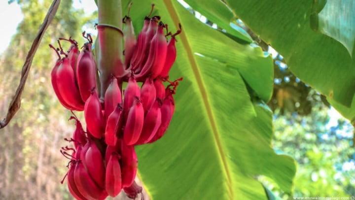Eğlenceli Gerçekler | Kırmızı muzun tadı çilek ile mangoya benzer