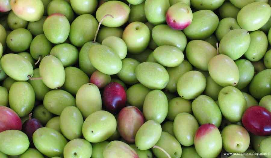 Ev yapımı yeşil zeytin tarifi nasıl yapılır? yeşil zeytin yapmak,ham zeytin tatlandırmak,yaş zeytin yapımı,yeşil zeytin tarifi,yeşil zeytin,yeşil çizik zeytin,yeşil kırma zeytin,organik zeytin,ev yapımı yeşil zeytin. yeşil zeytin yapımı,kırma yeşil zeytin nasıl yapılır yeşil zeytin yapımı oktay usta zeytin yapımı tarifi yeşil zeytinin kararmaması için ne yapılır yeşil zeytin nasıl saklanır yeşil zeytin faydaları siyah zeytin nasıl yapılır yeşil zeytin kurma yöntemleri. çizerek zeytin hazırlama, çizik zeytin nasıl yapılır, evde zeytin yapımı, kahvaltılıkyeşil zeytin, kışlık salamura zeytin,Evde Yeşil Zeytin Tatlandırma Tarifi,Sadece Zeytin Yemek İçin : Evde Yeşil Zeytin Nasıl Yapılır,Evde yeşil zeytin yapımı, Evde Kırma, Çizik ve Salamura Yeşil Zeytin Nasıl Yapılır? Püf noktaları nelerdir? Katkısız şekilde Evde Zeytin yapımı,Evde Zeytin yapımının resimli ve güvenilir tarifi,Yeşil Zeytin Tadlandırma Ve Kurumu Tarifi ,Yeşil Zeytin Tadlandırma Ve Kurumu Nasıl Yapılır,Kendi zeytinini kendin yap,Kırma Yeşil Zeytin Yapımı - Ev Yapımı yeşl zeytin,Salamura Yeşil Zeytin Nasıl Yapılır,Salamura Yeşil Zeytin Nasıl Yapılır Tarifi,Ev Yapımı Kırma Yeşil Zeytin Tarifi,Ev Yapımı Çizme Yeşil Zeytin Tarifi,yeşil zeytin nasıl kurulur,yeşil zeytinin kararmaması için ne yapılır